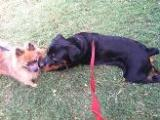 Rottweiler and little dog playing