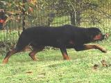Rottweiler being silly
