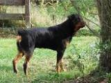 2 1/2 year old Rottweiler