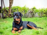 10 month old Rottie