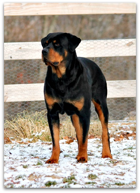 Rottweiler Guard Dogs Are They Big And Scary Or Just