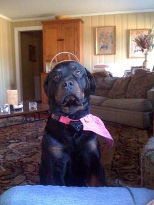6 year old Rottie playing dress up