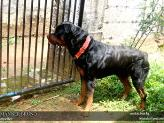 Rottweiler on guard duty