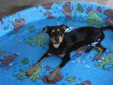 Rottweiler puppy in a pool