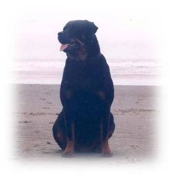 Female Rottweiler - Savanna
