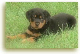 Free Rottweiler Puppies - How hard is it to find them?