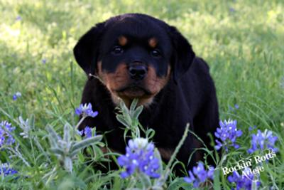 Adelle in the Texas Blue Bonnets 8 wks