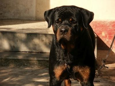 A smiling Rottweiler