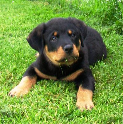 Rottweiler Puppy Pictures All Puppies Are Cute But These Are