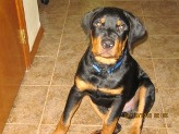 11 month old Rottweiler
