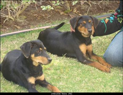 Adorable twin Rottie puppies