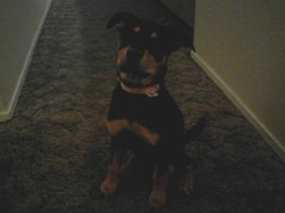Bubbles the 5 1/2 month old Rottweiler - too cute!