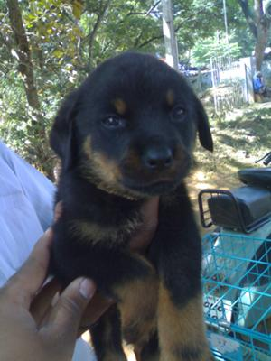 adorable Rottie puppy