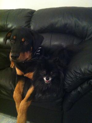 My Rottie Zeus and his best friend jett
