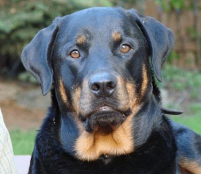 Beautiful male Rottweiler