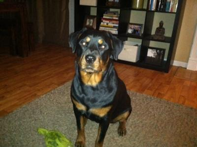 beautiful female Rottweiler