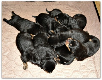 A pile of Rottie puppies!