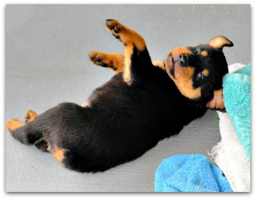 Rottie puppies are as cute as they com