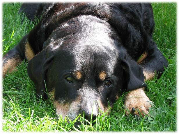 rottweiler dog attacks. about the reasons a rottweiler attack can happen dog attacks