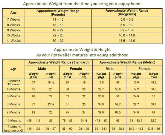 Lab Puppy Growth Chart - The Cutest Puppies