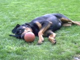 Rottweiler pics - Chevy with a ball