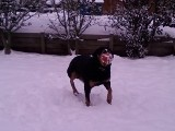 Rottweiler pics - Oh look, Chevy has a ball in his mouth