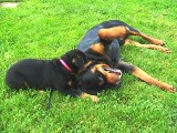 Rottweiler pics - Nikki picking on Moose some more