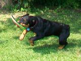 Rottweiler pics - Don't know what that is, but Nikki's having fun