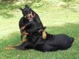 Rottweiler pics - Good thing Moose is a big sweetheart