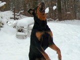 Rottweiler pics - Moose catching snowflakes