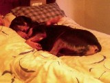 Rottweiler pics - Chevy is very spoiled