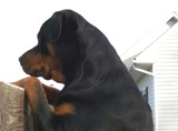 Rottweiler pics - Chevy loves his daddy