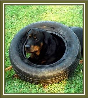 visitor's Rottweiler Pictures Gallery