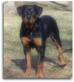Average weight female rottweiler 6 months