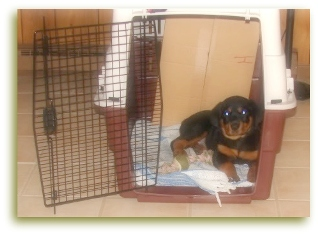 Caring For Your Rottweiler Puppy Are You Prepared For Your New Bundle Of Joy
