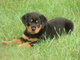 Rottweiler puppy pictures - Duke enjoying the grass