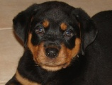 Rottweiler puppy pictures - Duke with a rather sinister look on his face