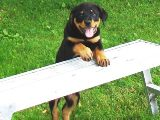 Rottweiler puppy pictures - Nikki climbing on a bench