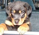 Rottweiler puppy pictures - Duke's first ride in the car