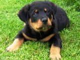Rottweiler puppy pictures - Nikki looking super cute