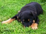 Rottweiler puppy pictures - Can Nikki get any cuter?
