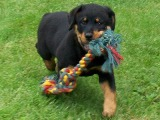 Rottweiler puppy pictures - This is MY toy