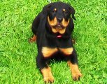 Rottweiler puppy pictures - Nikki getting bigger