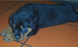 Rottweiler puppy pictures - Duke still at the breeders