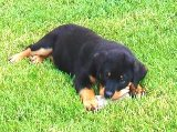 Rottweiler puppy pictures - Nikki chewing in the grass