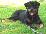 Rottweiler puppy pictures - Nikki looking pretty