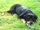 Rottweiler puppy pictures - Nikki looking cute
