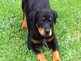Rottweiler puppy pictures - Nikki posing for the camera