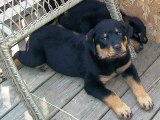 Rottweiler puppy pictures - Nikki before she came home