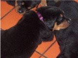 Rottweiler puppy pictures - Duke again still at the breeders